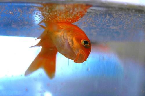 Risultati immagini per pesce rosso morto
